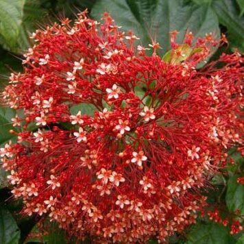 Клеродендрум Паникулятум красный (Метельчатый)