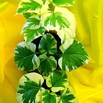 Клеродендрум Паникулятум (Метельчатый) вариегатный