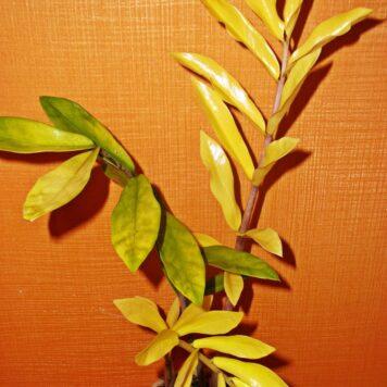 Замиокулькас Биг Лив с желтой вариегатностью