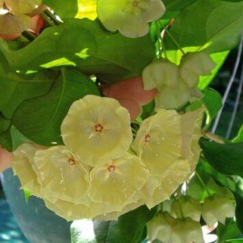 Hoya Cystiantha yellow flower