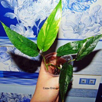 Эпипремнум Pinnatum Albo variegata