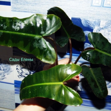 Philodendron Billetiae black petiole (Негр)