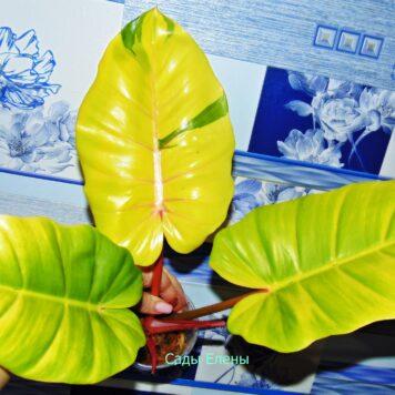Филодендрон гибрид Пинг Тонг