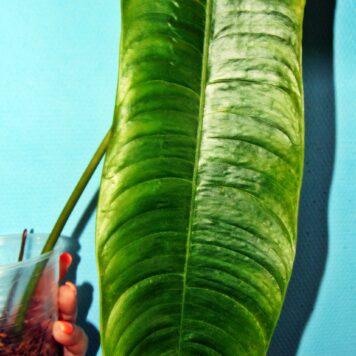 Филодендрон Тенуя длинный лист