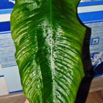 Филодендрон Тенуя широкий лист