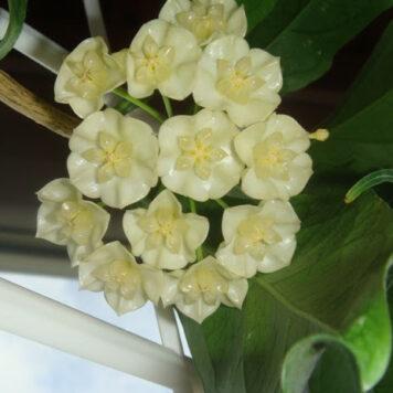 Хойя Narcissiflora